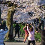 桜の下で体操をする人々