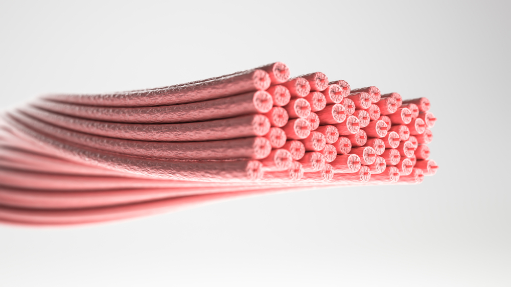 筋線維は2種類のタイプがある