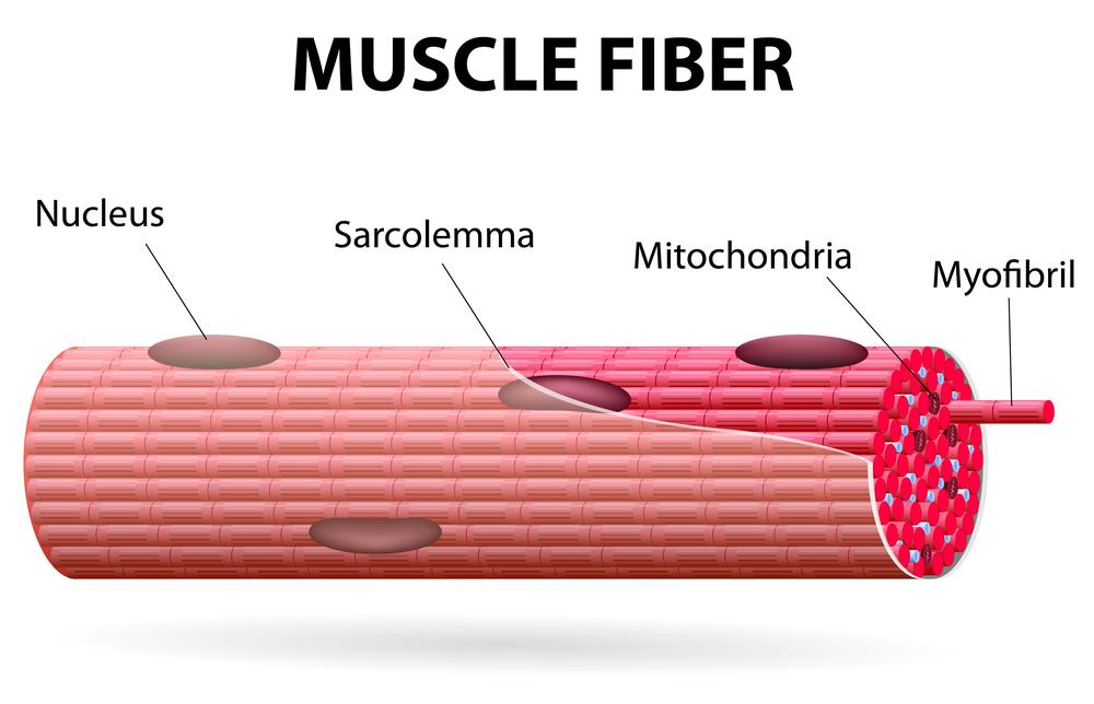 運動で鍛えられるのは「骨格筋」